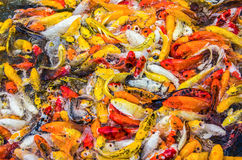 Koi fish colorful swim on the pond Stock Photography
