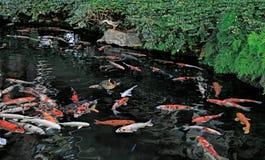 Koi Fish. Colorful Koi fish swimming in pond Royalty Free Stock Photos