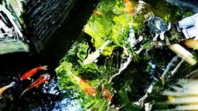 Koi fish. Colorful, water, contrast stock image