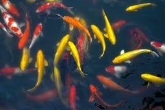 Koi fish,Cyprinus carpio,GOLD FISH Royalty Free Stock Photography