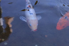 Koi fish, Cyprinus carpio haematopterus Stock Photo