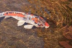Koi fish, Cyprinus carpio haematopterus Stock Photo