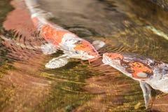 Koi fish, Cyprinus carpio haematopterus Stock Photography