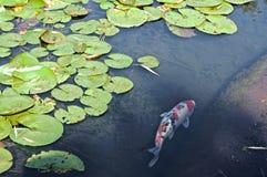 Koi Fish dans l'étang de l'eau Lillies Images stock