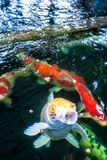 Koi fish eating food. Koi fish are open mouth eating food in the pond Royalty Free Stock Image