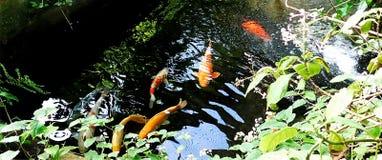 Koi Fish in een donkere vijver Royalty-vrije Stock Afbeeldingen
