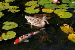 Koi Fish en la charca del agua Lillies Imagen de archivo libre de regalías