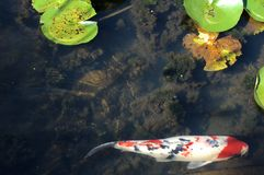 Koi Fish en la charca del agua Lillies Imagen de archivo