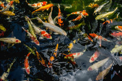Koi fish, Fancy Carp fish swimming in The pond. Top view royalty free stock images