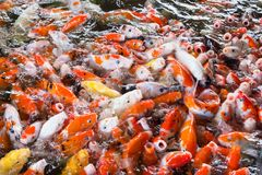 Koi fish, Fancy Carps Fish in Pond.Motion blur pictues. Koi fish, Fancy Carps Fish in Pond.Motion blur pictues Royalty Free Stock Image