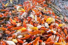 Koi fish, Fancy Carps Fish in Pond.Motion blur pictues. Koi fish, Fancy Carps Fish in Pond.Motion blur pictues Stock Photography