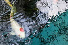 Koi fish are farmed in ponds. Royalty Free Stock Images