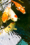 Koi fish are farmed in ponds in Thailand Stock Images