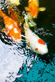 Koi fish are farmed in ponds in Thailand Stock Photos