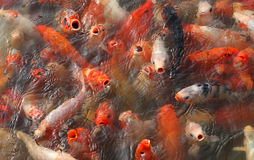 Koi fish feeding frenzy Royalty Free Stock Photos