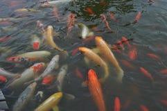 ¡Koi Fish Feeding Time! fotos de archivo