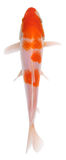 Koi fish Stock Photography