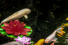 Koi fish and flowers in a pond - Shanghai, China Stock Image