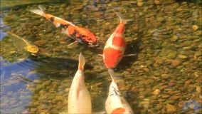 Koi fish in a garden pond stock footage
