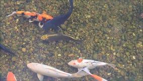 Koi fish in a garden pond stock video