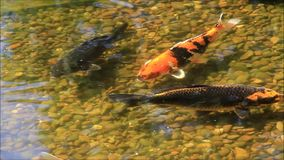 Koi fish in a garden pond stock video footage