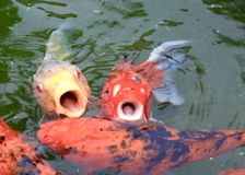 Koi fish. Hungry yellow and red Koi fish opening mouth for food in decorative royalty free stock photo