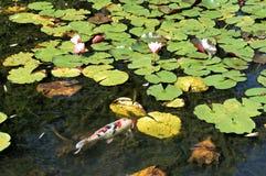 Koi Fish i dammet av vatten Lillies Fotografering för Bildbyråer