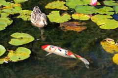 Koi Fish i dammet av vatten Lillies Arkivfoto