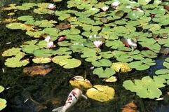 Koi Fish i dammet av vatten Lillies Arkivbilder