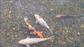 Koi Fish i det trädgårds- dammet stock video