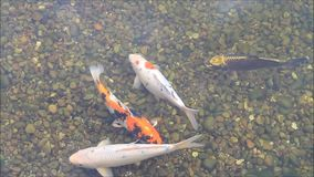 Koi Fish im Garten-Teich stock video