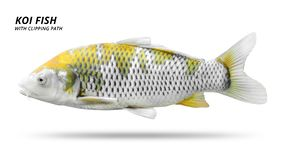 Koi fish isolated on white background. Colorfuls carp fish. Clipping path stock image