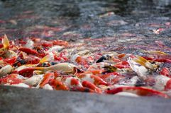 Koi fish jammed at the pond for foods. Koi belongs to carp fish family Royalty Free Stock Photography