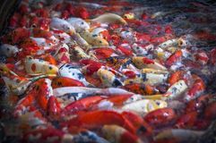 Koi fish jammed at the pond for foods. Koi belongs to carp fish family Royalty Free Stock Images