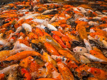 Koi Fish japan Royalty Free Stock Photo