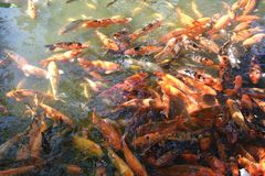 A pond with Koi fish. Koi fish Stock Photography