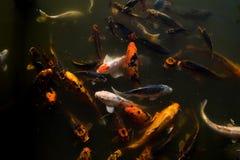 Koi Fish in Koi Pond royalty free stock photos