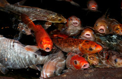 Koi fish lips Stock Images