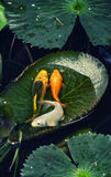 Koi fish on the lotus leaf. At the Mekong Delta, Vietnam Stock Photo