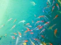 Koi Fish-menigte stock fotografie