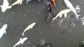 Koi fish stock video