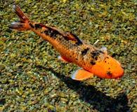 Koi Fish (nishikigoi). A Single Koi Fish in a pebbled pond Stock Photography