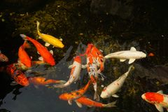 Koi Fish. In outdoor clear pond royalty free stock photography