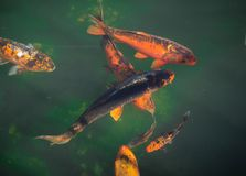 Koi fish in pond Stock Images