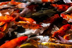 Koi fish in the pond stock photo