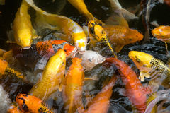Koi fish in a pond Stock Images