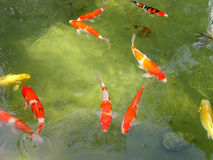Koi fish pond Stock Image
