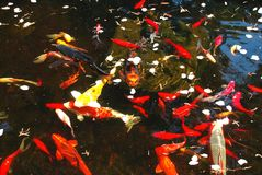 Koi fish pond Royalty Free Stock Images