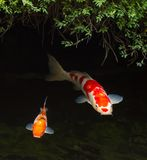 Koi fish Royalty Free Stock Photo