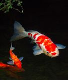 Koi fish. In a pond royalty free stock photo